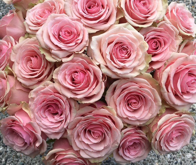 Pink Rose Study with Amato Wholesale!