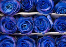 Blue Spray Rose