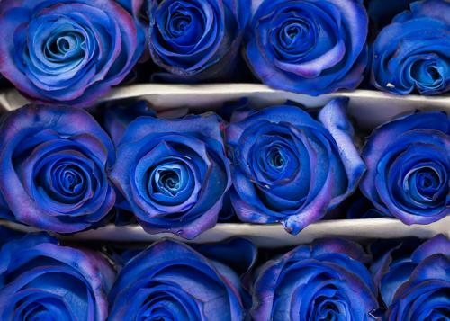Blue Spray Rose