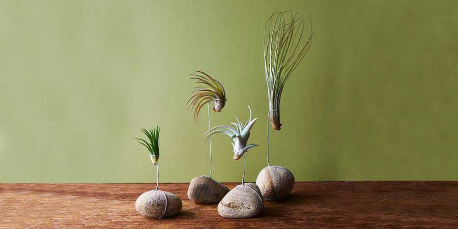 Love is in the Air  with Tillandsia!