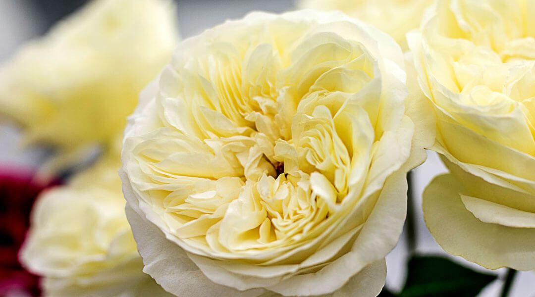 A Taste Of Things To Come – David Austin Luxury Cut Roses