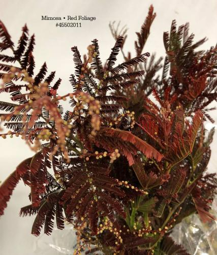 Mimosa • Red Foliage#45502011